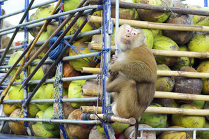 monkey on car truck with coconut