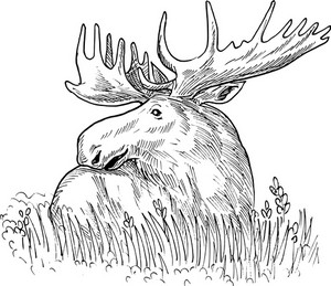 Moose Or Common European Elk Drawing