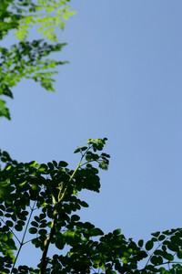 Moringa Tree Bud