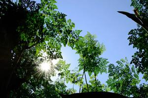 Moringa Trees