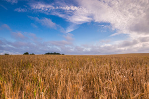 Morning cereal field under blue sky with clouds. Beautiful summertime landscape