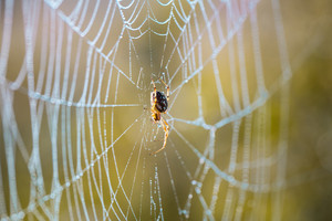 Morning spider web in golden light