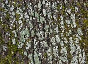Mossy Oak Wood