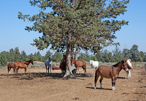 Mule And Horses