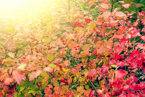 Natural autumn background from red leaves viburnum at sunset light