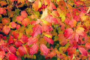 Natural autumn background from red leaves viburnum