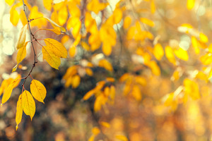 Natural autumn leaves on a branch blured background