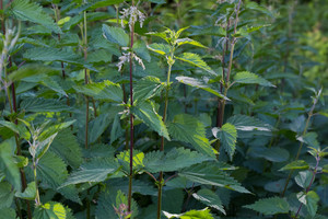 Nettle growing in shade in forest. Close up of nettle leaves