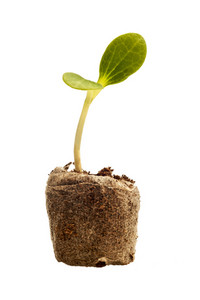 New Life Baby Squash Plant