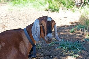 Nubian Goat Head