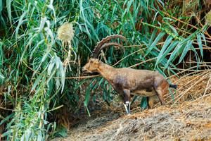 Nubian ibex in Ein Gedi Reserve