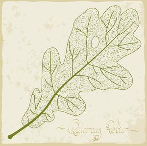Oak Leaf Skeleton. Vector.