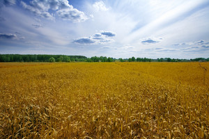 Oat field with blue sky with clouds