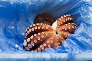 Octopus sell in Tsukiji market Japan