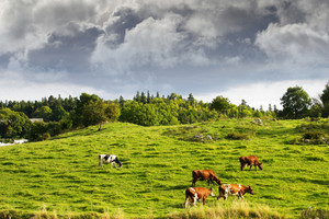 old rural landscape with grazing cattle