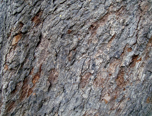 Old_tree_bark_texture