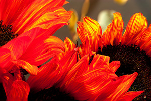 Orange Stripped Sunflowers
