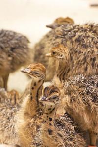 Ostrich Cute Babies