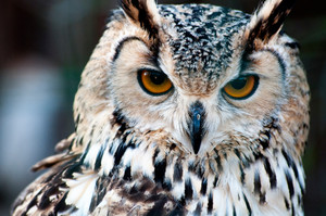 Owl Close Up Portrait