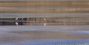 Pair of flamingos feeding in sunlit waters