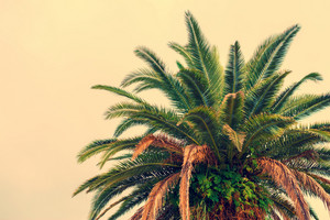 Palm tree krone against beige background