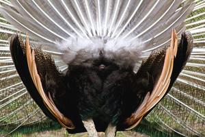 Peacock Backside