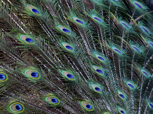 Peacock Feathers Picture