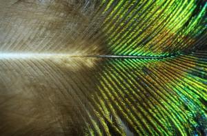 Peacock Wing Macro Textures