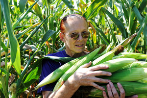 Peasant woman collecting corncobs at field