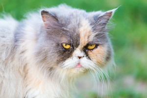 Persian cat portrait. Purebred persian cat photographed in outdoor