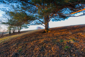 Photo of old big pine tree on hill of meadow at sunset