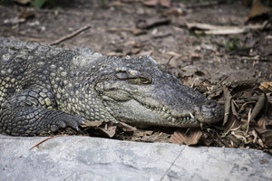 Picture of crocodile at asian zoo