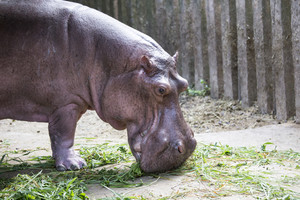 Picture of hippopotamus at asian zoo