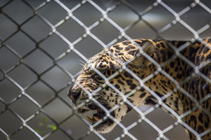 Picture of Jaguar at asian zoo