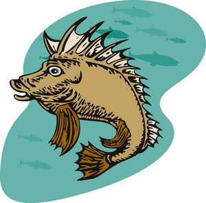 Pigfish Swimming