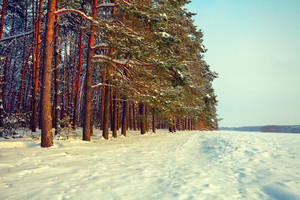 Pine forest and snowy field