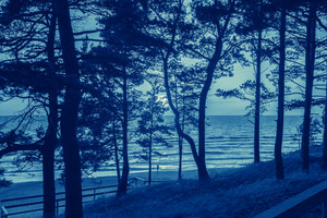 Pine forest by the sea
