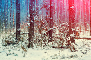 Pine forest in winter. Gradient toning