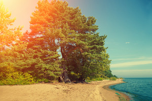 Pine forest on the beach