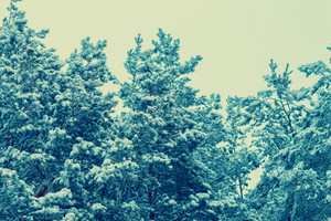 Pine tree crones covered with snow