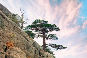 Pine tree on the mountain