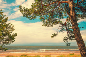 Pine trees on the beach