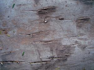 Pine_texture