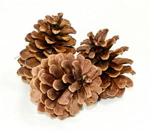 Pinecones 187