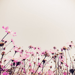 Pink Cosmos flowers fields plant