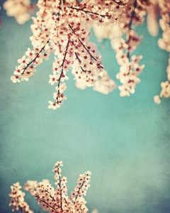 Pink dogwood blooms on grunge background texture.