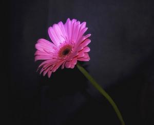 Pink Flower 190