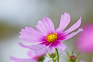 Pink Mexican Aster Flower