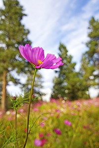 Pink Mexican Aster