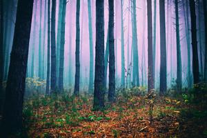 Pink mist in pine forest